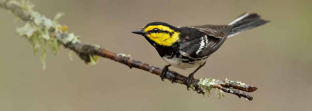 Endangered golden-cheeked warbler photo by Melody Lytle