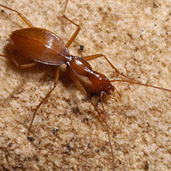 tooth cave ground beetle by dr. jean krejca